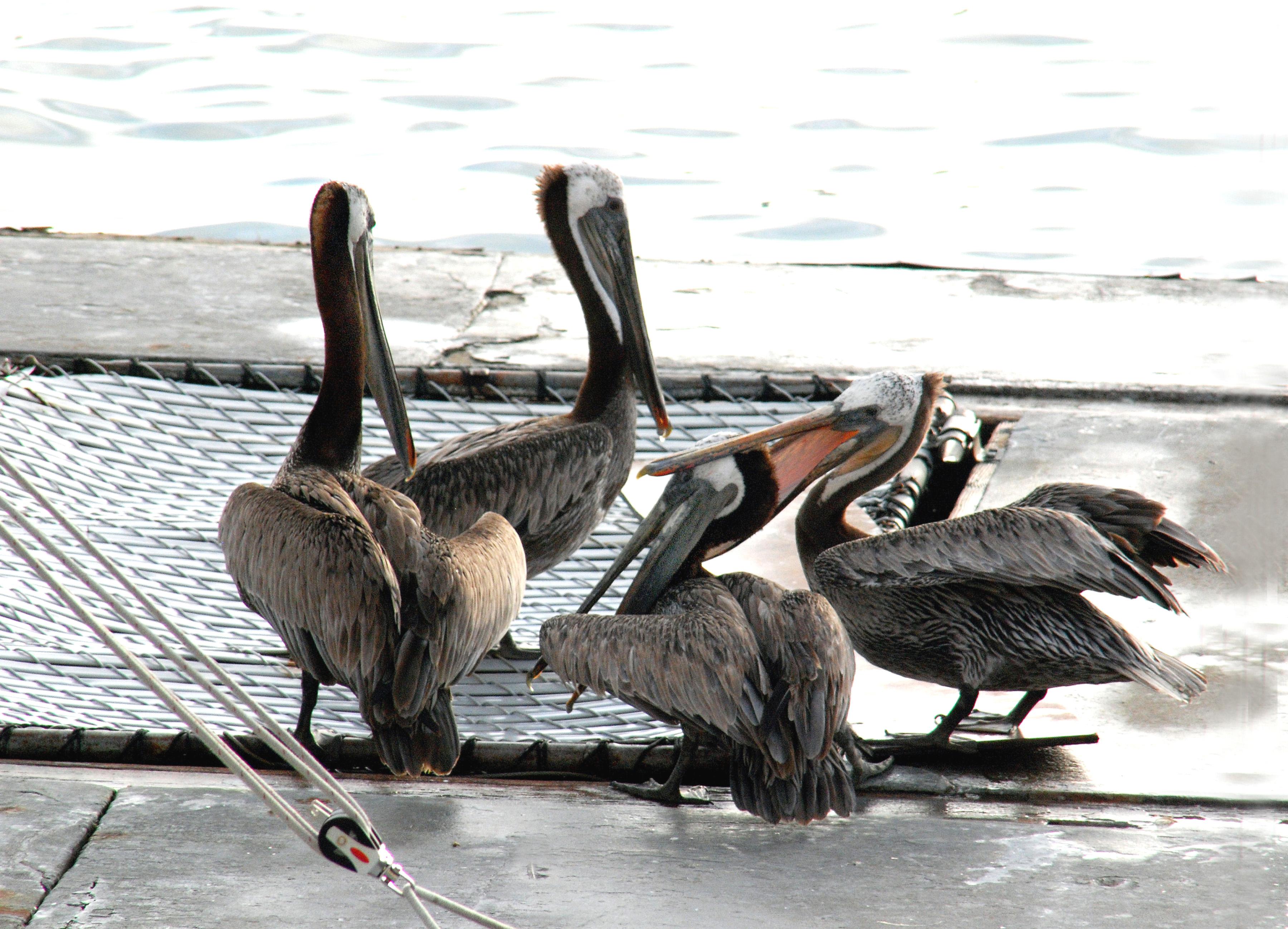 DSC_Pelicans